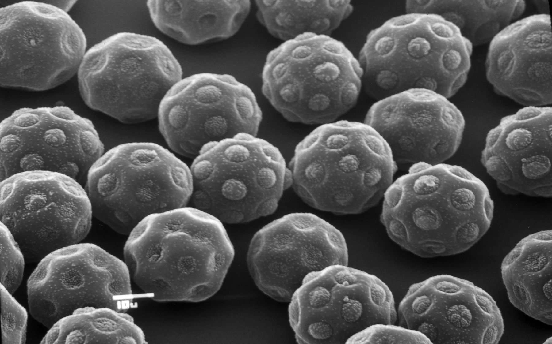 Pollen de Halothamnus